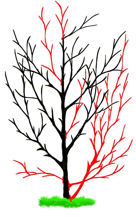 Рисунок-схема обрезки плодовых