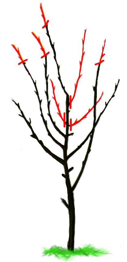 Обрезка плодовых деревьев до